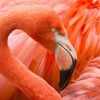 flamingox (Medium)